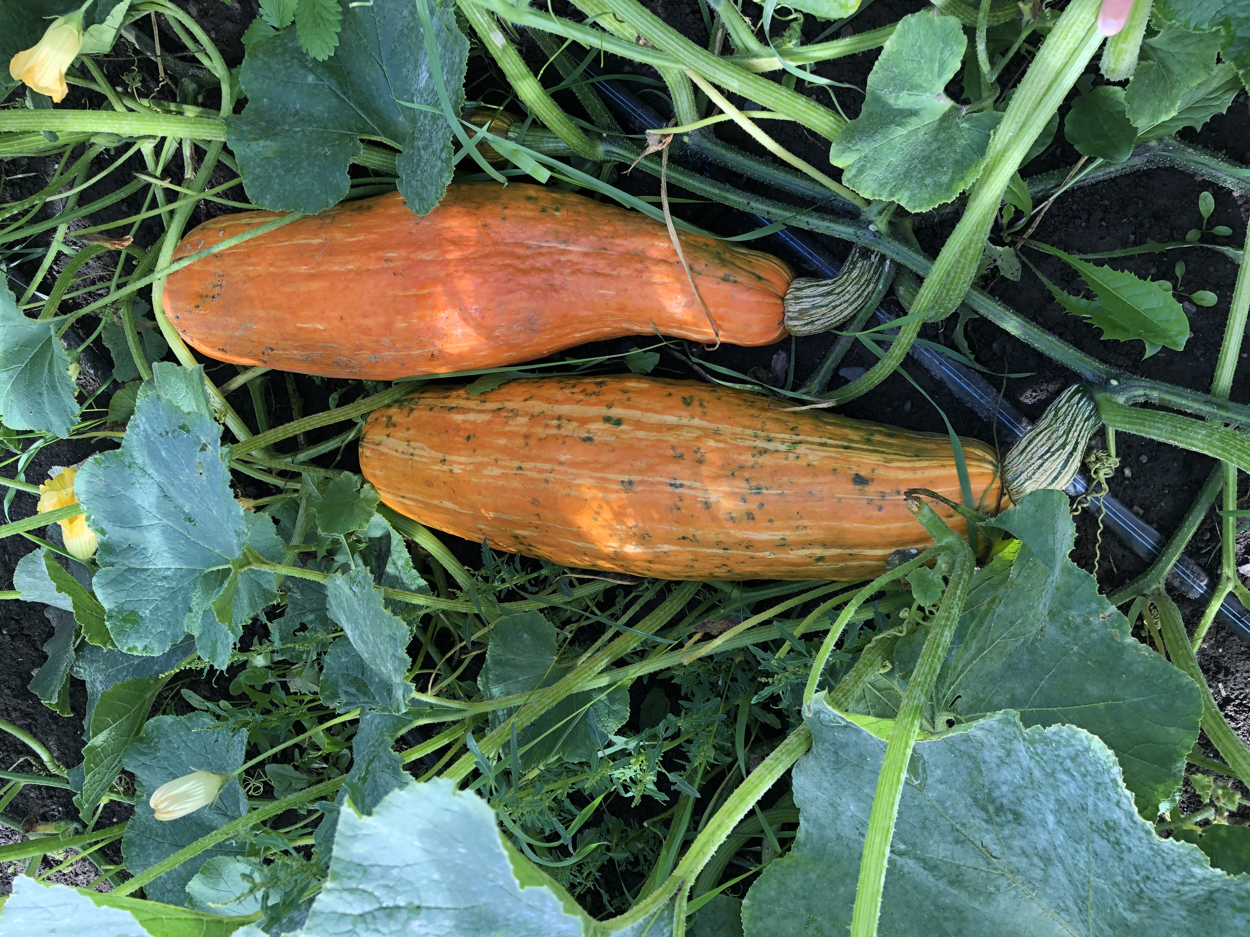 photo of two Gete-Okosomin squash growing in greenery