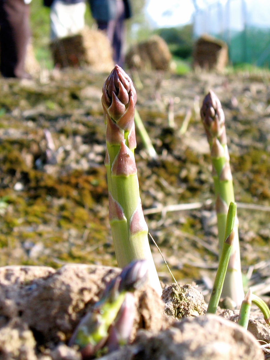 close up of two stalks of asparagus poking up out of the soil with people standing the background