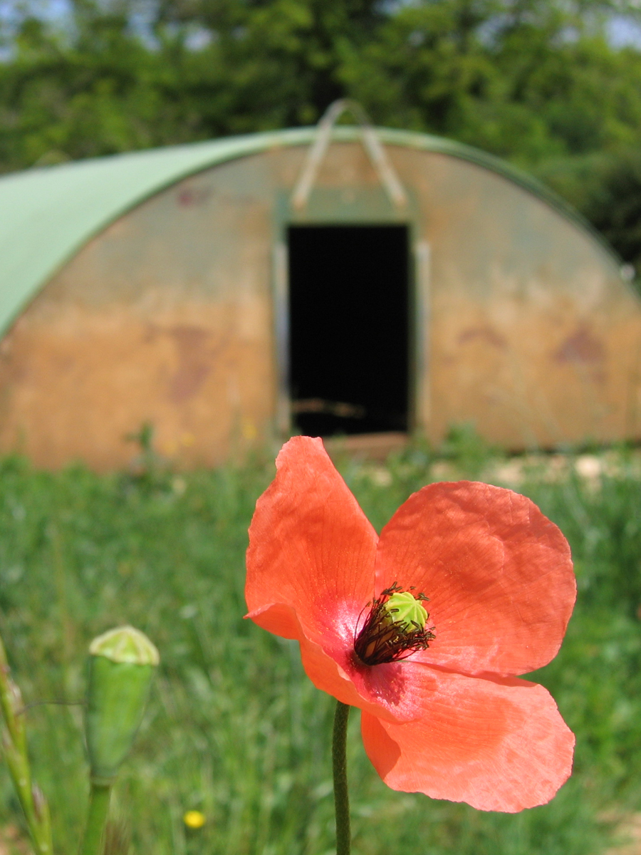 photo of a red poppy in the foreground and a pig shed, blurry, in the background